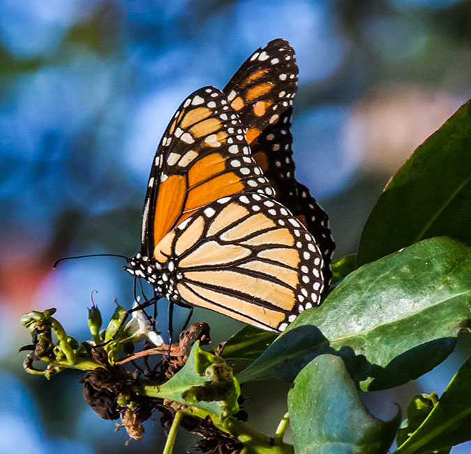 Monarch Butter Flies in Pacific Grove