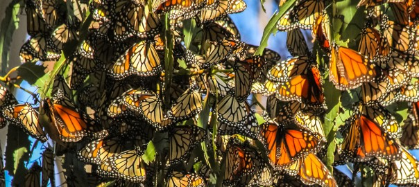 cTv RV Life @ Pismo Beach, 20K + Monarch Butterflies Can't Be Wrong