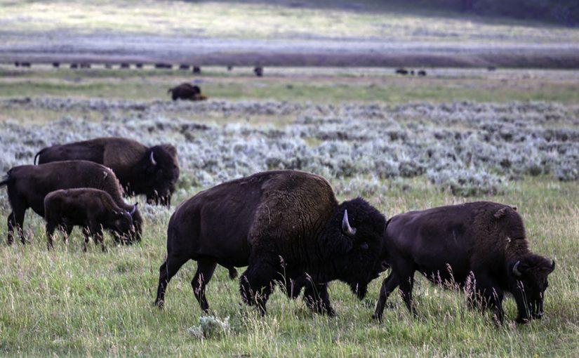 Grand Tetons, Yellowstone Falls, Old Faithful, Buffalo's Up Close